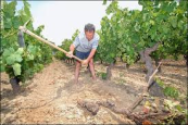 Wine grower 1